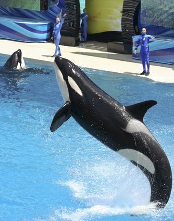 ballena azul: Una orca realiza una infracción en un Show de parque marino