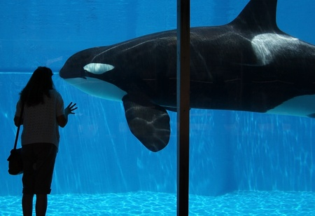 A Woman Watches an Orca Through an Underwater Observation Window photo