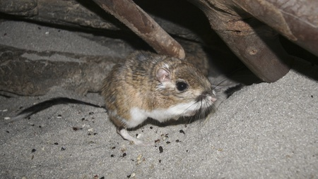 bipedal: A Close Up of a Kangaroo Rat, genus Dipodomys