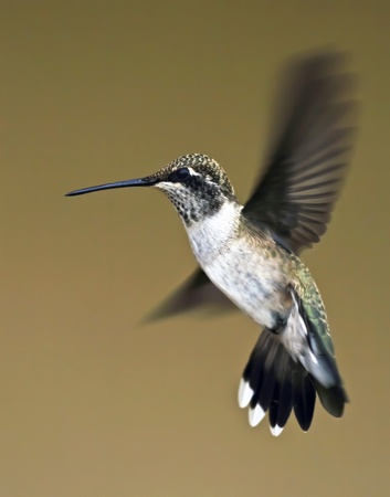 A Female Blue-throated Hummingbird Hovers Momentarily in Flight