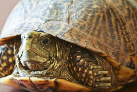 land shell: A Close Up View of a Western Box Turtle, Terrapene ornata