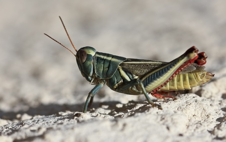 pronotum: A Close Up View of a Grasshopper, a Jumping Insect Economically Important as a Pest Destructive to Cultivated Plants