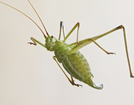 pronotum: A Close Up View of a Red and Green Katydid, a Jumping Insect