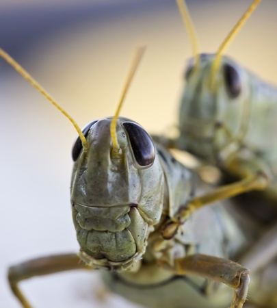 A Close Up View of Grasshoppers Riding Piggyback, Jumping Insects Economically Important as Pests Destructive to Cultivated Plants Stok Fotoğraf - 10723461