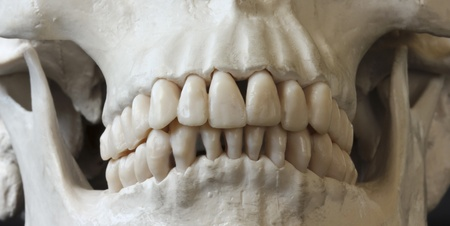 dentition: A Close Up View of the Jaw and Teeth of a Human Skull