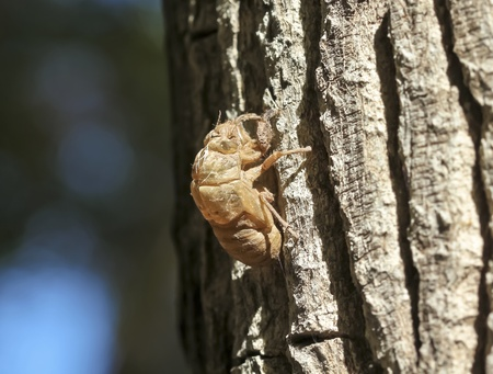 exoskeleton: An Exoskeleton Discarded by a Cicada Nymph Molting to the Adult