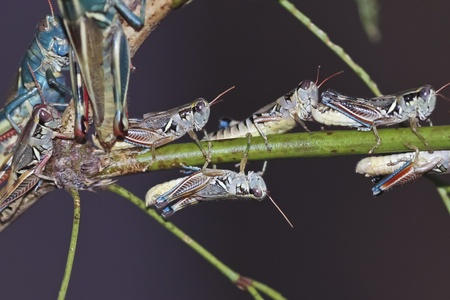 pronotum: A Close Up View of Grasshoppers, Jumping Insects, Economically Important as Pests Destructive to Cultivated Plants