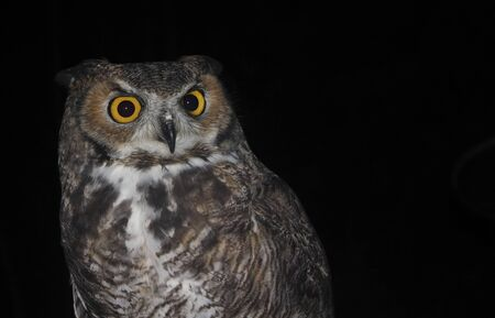 virginianus: A Great Horned Owl, Bubo virginianus, Against the Black of Night Stock Photo
