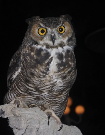 A Great Horned Owl, Bubo virginianus, on a Falconers Glove Against the Black of Night photo