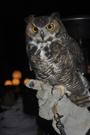 A Great Horned Owl, Bubo virginianus, on a Falconer's Glove Against the Black of Night Stock Photo - 11367314