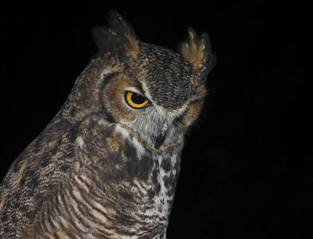 A Great Horned Owl, Bubo virginianus, Against the Black of Night photo