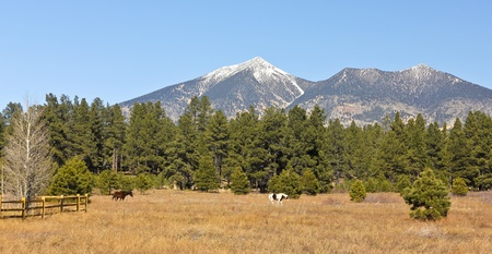 gold capped: A Pair of Horses Graze with the San Francisco Peaks Rising in the Background
