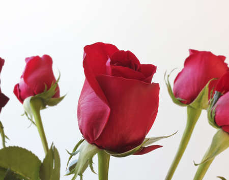 long stem roses: A Bouquet of Red Roses Against a White Background Stock Photo