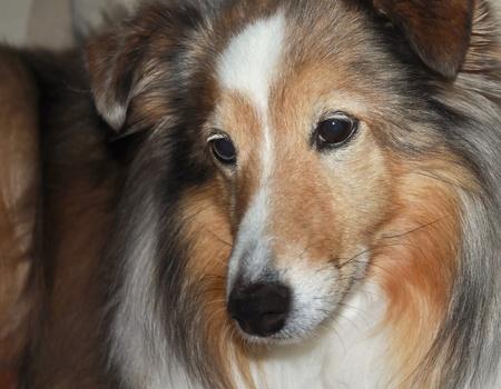 A Close Up Portrait of a Beautiful Sable Merle Shetland Sheepdog