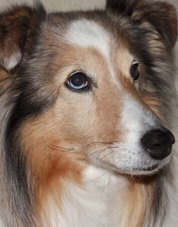 A Close Up Portrait of a Beautiful Sable Merle Shetland Sheepdog Stock Photo - 13205421