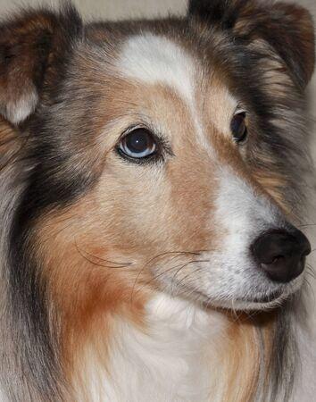 A Close Up Portrait of a Beautiful Sable Merle Shetland Sheepdog Stock Photo - 13205421