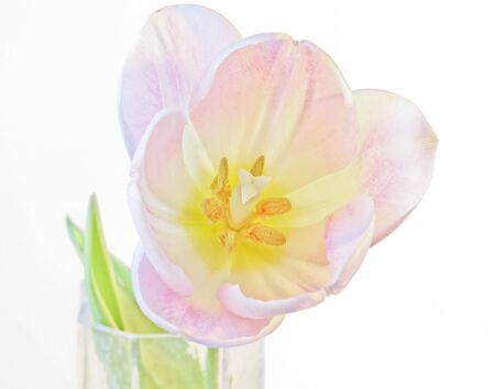 A Single Pink and White Tulip Blossom in a Bud Vase Stock Photo - 13646270