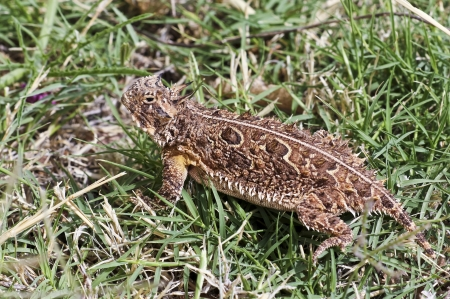 horny: A Texas Horned Lizard Pauses in the Green Grass Stock Photo