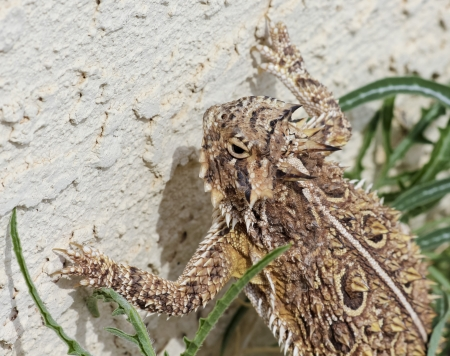 fringes: A Close Up of a Texas Horned Lizards Head and Claws Against a Stucco Wall