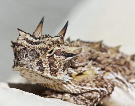 blotched: A Close Up of a Texas Horned Lizard Climbing on a Stucco Wall