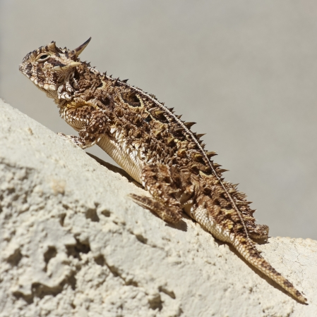 animals horned: A Close Up of a Texas Horned Lizard Climbing on a Stucco Wall