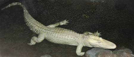 A Rare Albino American Alligator Lurks in a Dark Pool at Night