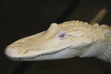 alligator eyes: A Rare Albino American Alligator Lurks in a Dark Pool at Night