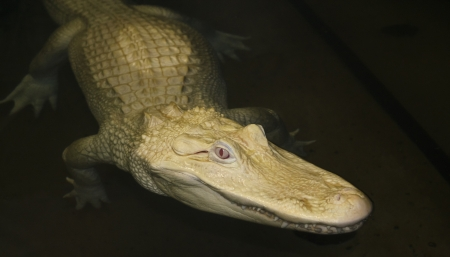 rare animals: A Rare Albino American Alligator Lurks in a Dark Pool at Night