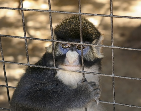 redtail: A Red-tailed Monkey Gazes Out Longingly from Behind the Wires of its Cage