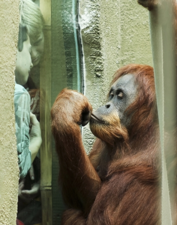 Chester, England - July 12: The Chester Zoo on July 12, 2012, in Chester, England. At the Chester Zoo, two boys watch through a window as the close proximity to an orangutan fascinates them.