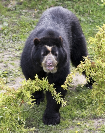 faced: A Spectacled, or Andean, Bear in the South American Cloud Forest Stock Photo