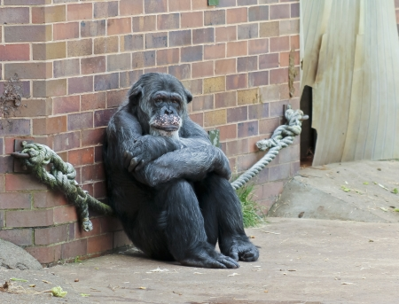 contemplation: The Chester Zoo on July 12, 2012, in Chester, England. An Elderly Zoo Chimpanzee Sits All Alone in Contemplation