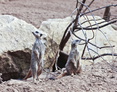 vigilant: A Pair of Meerkats Ever Alert to Approaching Dnager Stock Photo