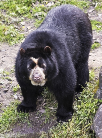 spectacled: A Spectacled, or Andean, Bear in the South American Cloud Forest Stock Photo