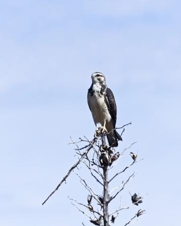 diurnal: A Juvenile Gray Hawk Perches on a Broken Yucca Stalk