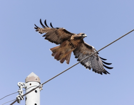 tailed: A Red-tailed Hawk Takes Flight from the Top of an Electric Pole