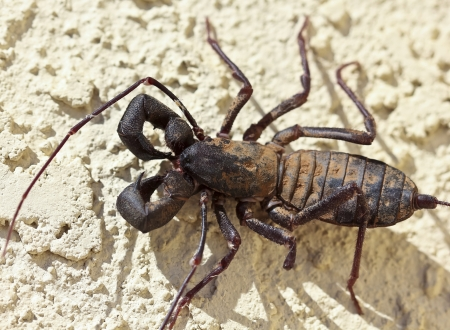 arachnid: A Vinegaroon, Also Known as Whip Scorpion, in the Order Thelyphonida Stock Photo