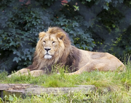 peers: A Male Lion Peers Out at the Camera from His Zoo Enclosure