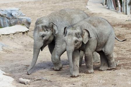 playmates: Un par de elefantes asiáticos Bebé Camine en su recinto Zoo Foto de archivo