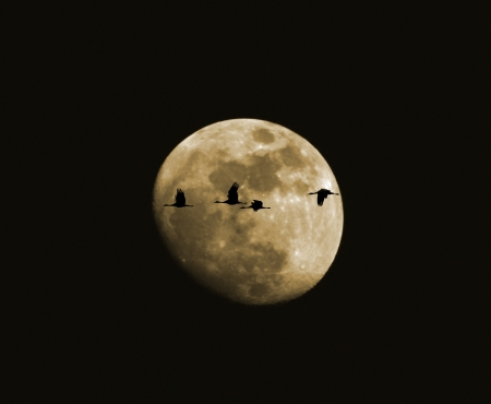 waxing gibbous: A Quartet of Sandhill Cranes in Flight Silhouetted Against the Moon Stock Photo