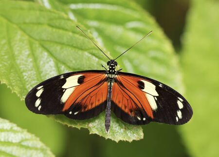 lepidopteran: An Orange and Black Rainforest Butterfly on a Green Leaf
