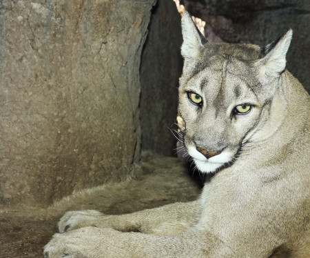 eyes cave: A Portrait of an Adult Mountain Lion in its Den Stock Photo