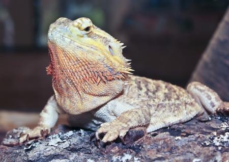 bearded dragon lizard: A Close Up of a Pogona, or Bearded Dragon, Lizard