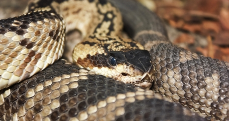 coiled: A Close Up of the Head and Coils of a Mojave Rattlesnake