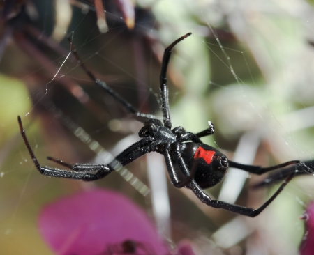 A Deadly Black Widow Spider Waits in its Web Banque d'images