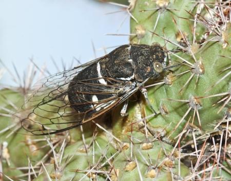 cigarra: Un insecto cigarra se basa en una planta de Cactus Cholla