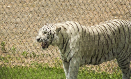 An Angry Rare White Tiger in a Zoo Growls His Displeasure  photo