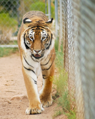 A Close Portrait of a Bengal Tiger Pacing in a Zoo Cage Stock Photo - 21647213