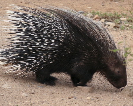 herbivorous: A Close Portrait of an African Crested Porcupine, Hystrix cristata Stock Photo