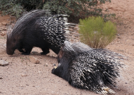 mated: A Close Portrait of a Pair of African Crested Porcupines, Hystrix cristata Stock Photo